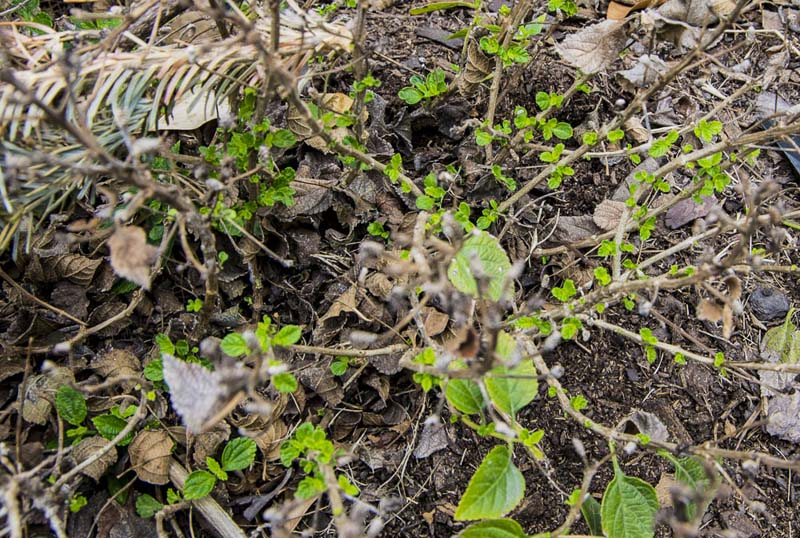 Lantana pruning sprouts_