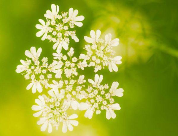 Cilantroflower_