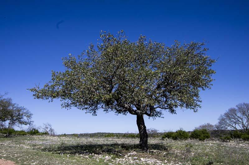 Texas Oak_