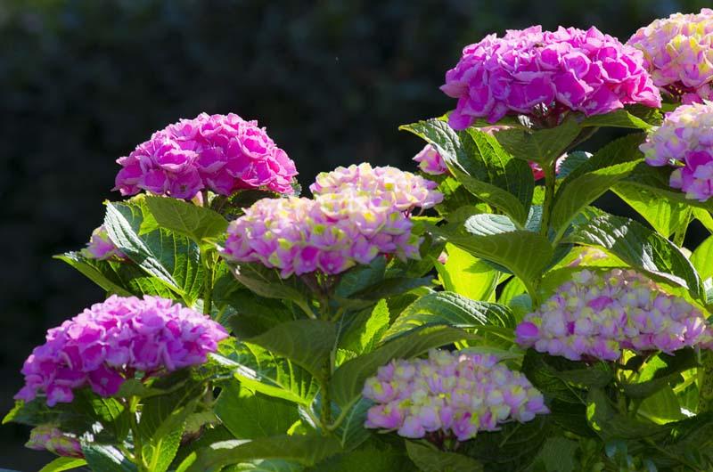 Du kan endre fargen på Hortensiaen din ved å gjøre jorden surere. Surere jord gir blå blomster._