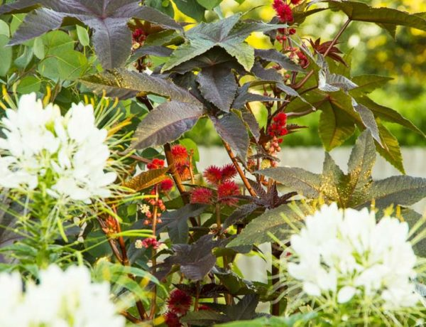 Ricinus and Cleome_