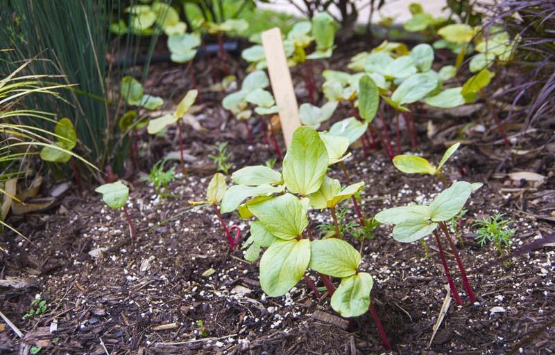 Ricinus seedplants_