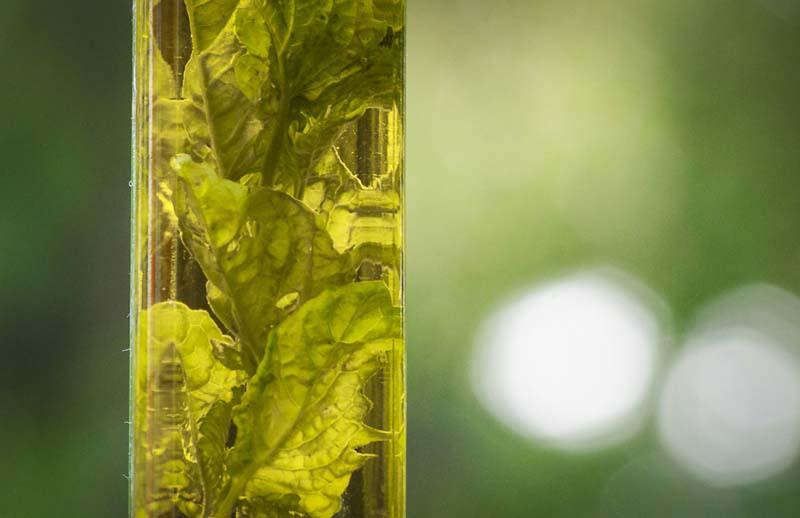 basil in olive oil_