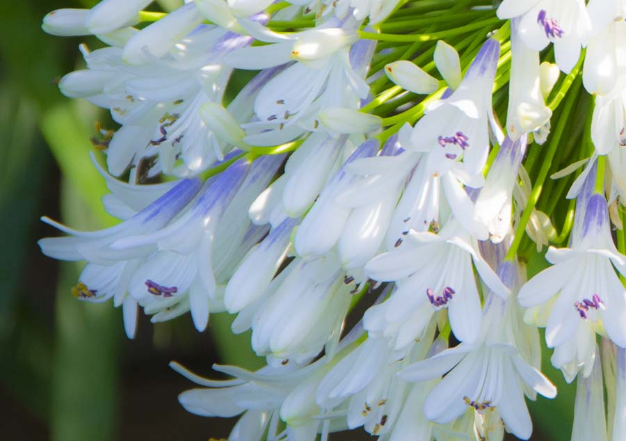 Queen Mum™ Agapanthus Flowers_