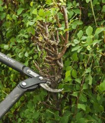 Pruning old hedge_