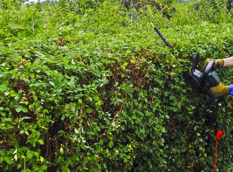 How to trim hedges_