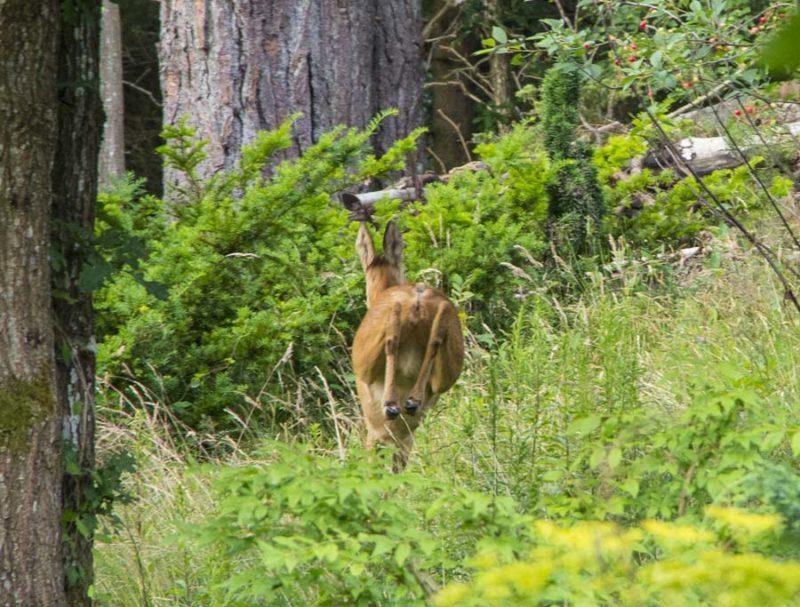 Deer_