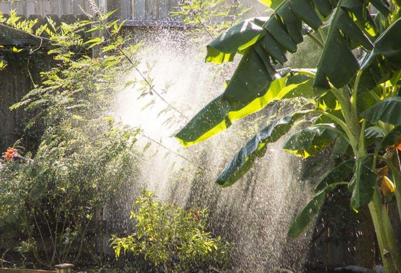 Watering the bananapalm_