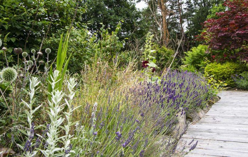 Owergrown flowerbed with lavender_