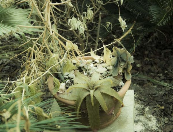 Succulents dead in the frost Jan 2017 Cypress, Texas