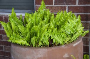 Bostonfern sprouting after frost.