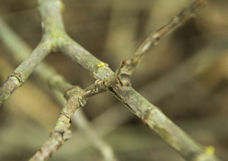 Tiny buds on Gardenia