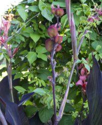 Canna seedpods