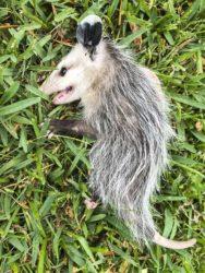 opossum plays dead21_