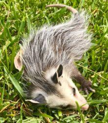 opossum plays dead22_