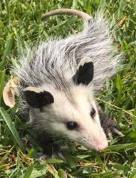 opossum plays dead23_