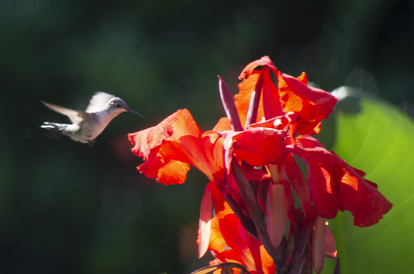Ruby-throated Hummingbird on Canna